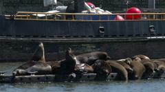 Sea lions on docks Stock Footage
