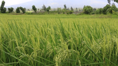 Rice field on a sunny day in the Philippines Stock Footage