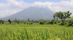Rice field before Mayon Volcano in Legazpi, Philippines Stock Footage