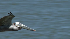 Brown Pelican In Flight Stock Footage