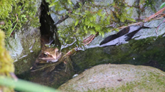Garden Frog in Pond Stock Footage