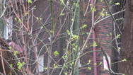 Stock Video Footage of Buds on branches in the spring