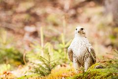 The gyrfalcon falco rusticolus Stock Photos