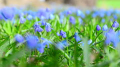 Scilla siberica (Siberian squill or wood squill)  Stock Footage