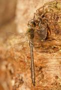 Libellula quadrimaculata Stock Photos