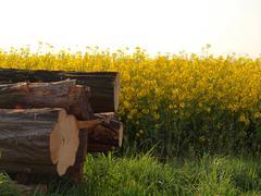 The stock of cut acacia trees at spring yellow rapes field. Stock Photos