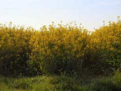 Stalk of rape in the spring yellow field of blooming rapes, the green stalks - stock photo