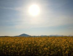 Stalks of rape in the spring  yellow field of blooming rapes, hill on horizon. - stock photo