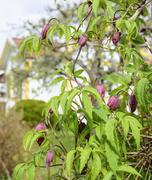 Clematis plant Stock Photos