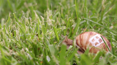 Snail searching for food, close up Stock Footage