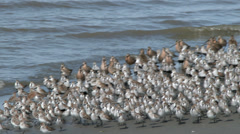 Shorebirds Trundle Down the Sandpiper Beach Stock Footage