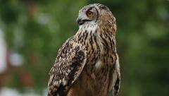 European Eagle Owl eats, squawks, flies off - stock footage