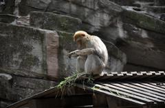 Stock Photo of Barbary Ape Sitting On Roof