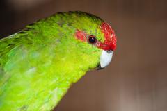 red-fronted parakeet cyanoramphus novaezelandiae - stock photo