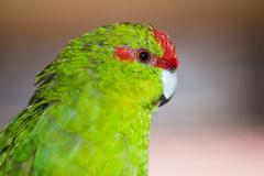 Red-fronted parakeet cyanoramphus novaezelandiae Stock Photos