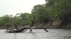 002 Pantanal,large-billed tern (Torgos tracheliotus) slowmotion Stock Footage