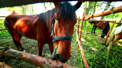 Horse eat behind wood fence. Horse looking at camera Stock Footage