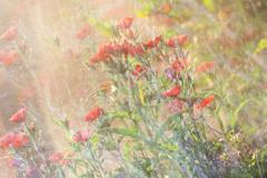 Dianthus background Stock Photos