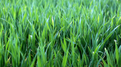 FullHD video of green grass on the field close-up - stock footage