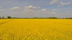 Field of yellow oilseed rape, summertime - stock footage