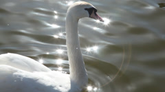 Shot of swans in canal Stock Footage
