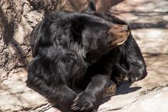 Asiatic black bear resting in the sun. ursus thibetanus Stock Photos