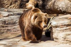 walking grizzly bear. brown bear in zoo. - stock photo