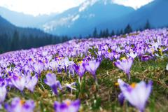 Purple crocuses meadow in the tatra mountains, poland, europe. Stock Photos