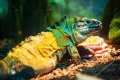 Mexican spiny-tailed iguana - ctenosaura  pectinata. the mexican spinytail ig Stock Photos