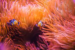 Coral reef clownfish between bubble sea anemone. clownfish or anemonefish. co Stock Photos