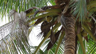 Stock Video Footage of Trained monkey for breaking coconuts on the palm tree.  Koh Phangan, Thailand