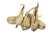 Four dried ears of corn from failed crop Stock Photos