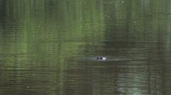 023 Pantanal, Yacare caiman, above and below water Stock Footage