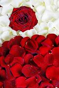 valentines day red and white rose petals background. - stock photo