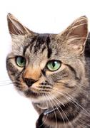 Young Maine Coon Cat with green eyes - stock photo