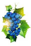 sunny vineyard grapes illustration isolated in white background. - stock illustration