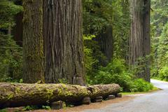 Redwood place. redwood forest and road. northern california, united states. Stock Photos