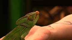 Chameleon catching a grasshopper with tongue, slow motion Stock Footage