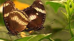 A couple of butterflies on leaf Stock Footage