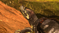 Close up head of a turtle. breathing Stock Footage
