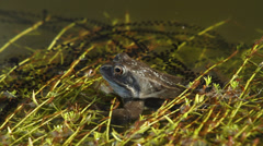 Common frog in pond with spawn croaking Stock Footage
