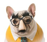 dog in disguise - stock photo