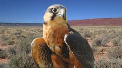 Aplomado Falcon Stock Footage