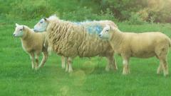 Farming Livestock Ewe and Lambs in Green Field Stock Footage