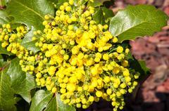 Spring flowers mahonia Stock Photos