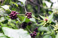 Wild Coffee. - stock photo