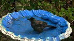 Bird Bath slow motion Blackbird Grackle Stock Footage