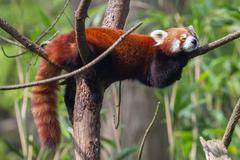 Red panda, firefox or lesser panda Stock Photos