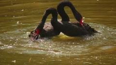 Black Swans 2 Stock Footage