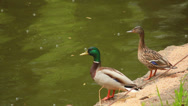 Stock Video Footage of two ducks on the waterfront